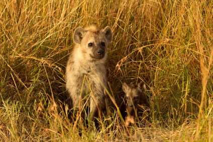 mother hyena and cub on the Masai mara